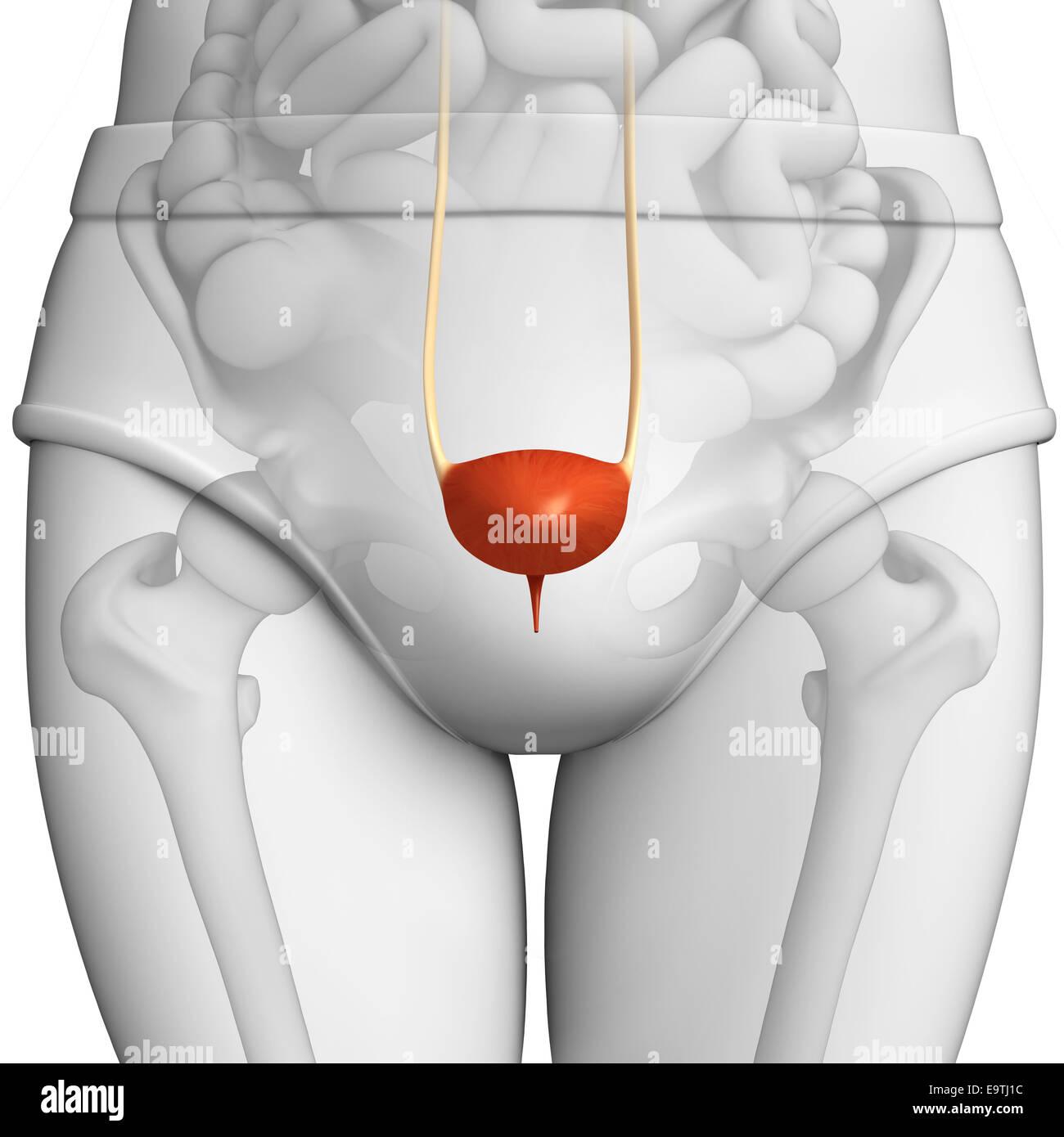 Anatomy Male Female Urinary Bladder Stockfotos & Anatomy Male Female ...