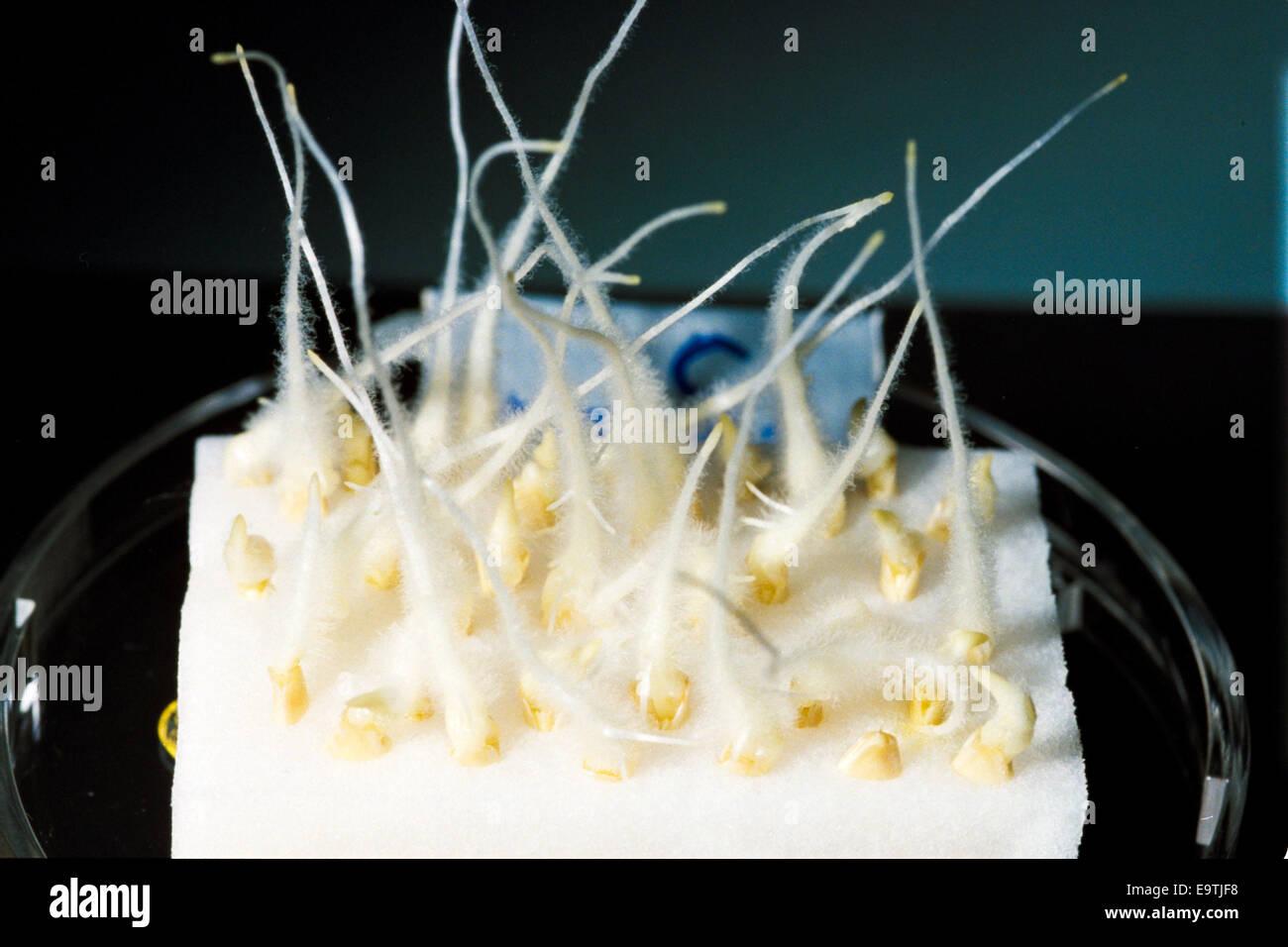 In diesem Bild: Blick auf Wachstum des Keimlings in einer Petrischale während Raumfähre Discovery STS Stockbild