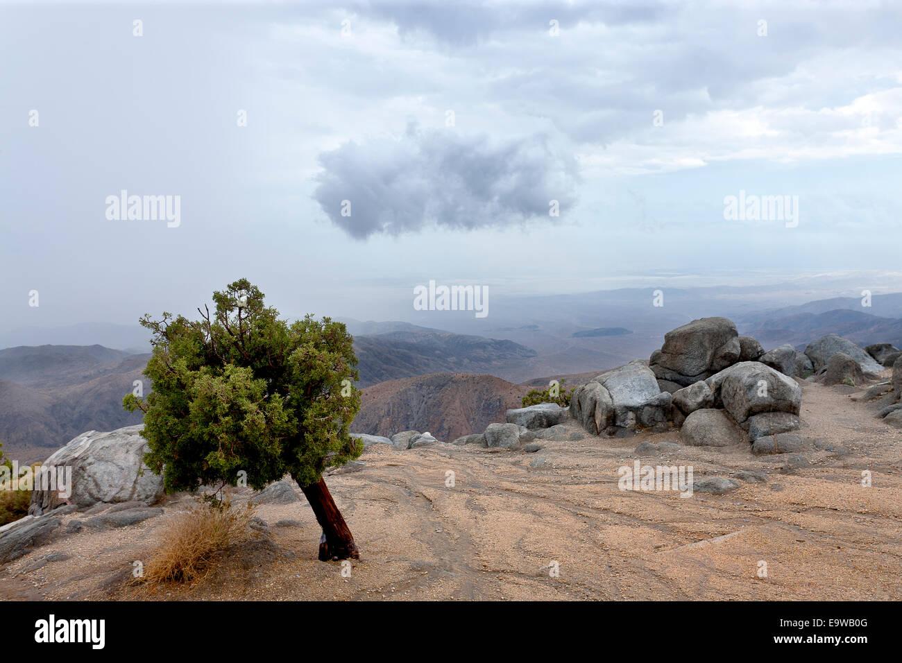 Dieser gebogene Kalifornien Wacholder ist ein Zeuge der starken Winde gefunden auf Keys View Point in San Bernardino Stockbild