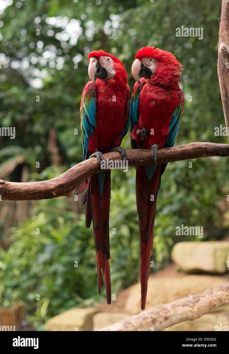 paar rote Papageien in der Liebe auf Baum Stockfoto, Bild: 74946650 ...
