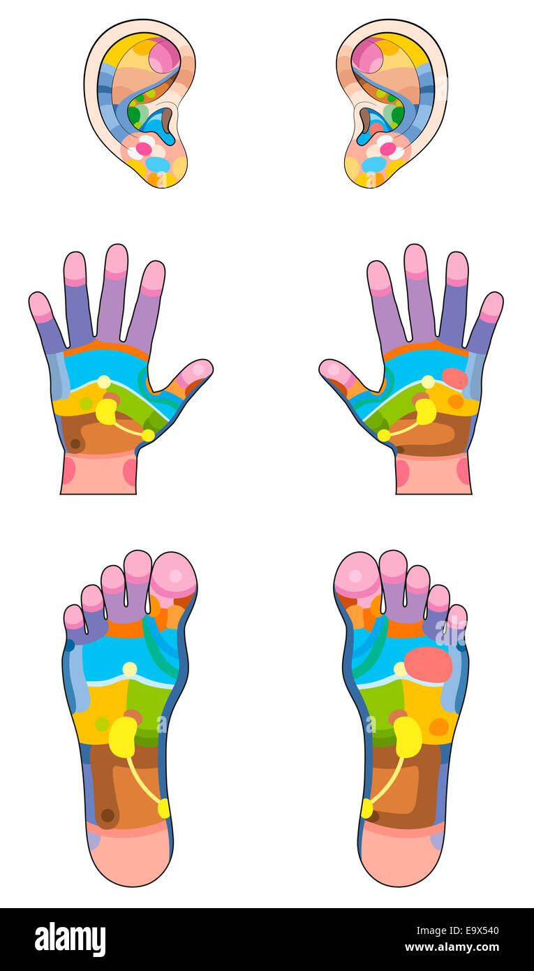 Reflexzonen - Ohren, Hände und Füße mit der entsprechenden inneren ...