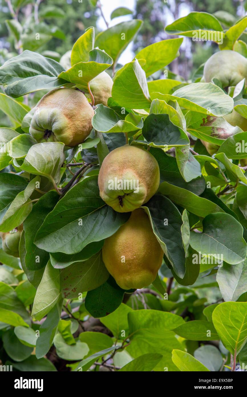 Quitten-Früchte auf dem Baum in einem französischen Obstgarten, Provence Stockbild