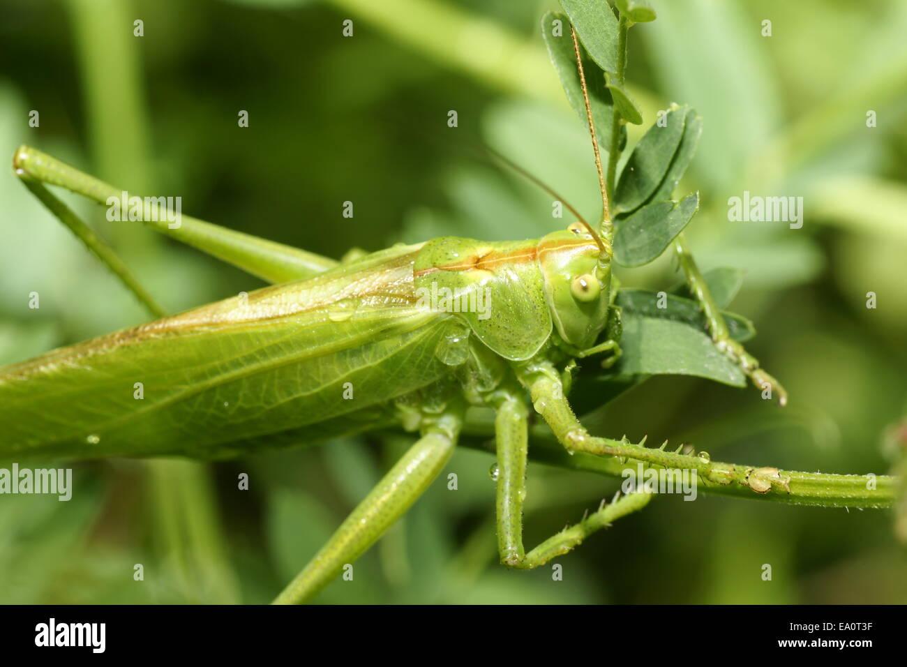 grüne Heuschrecke, Tettigonia viridissima Stockbild