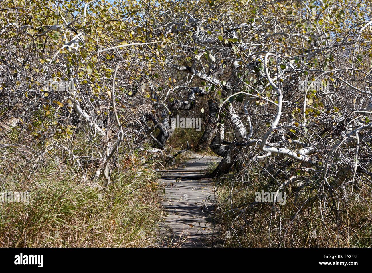 die krummen Busch-Gruppe der verdrehten Espe Bäume Saskatchewan Kanada Stockbild