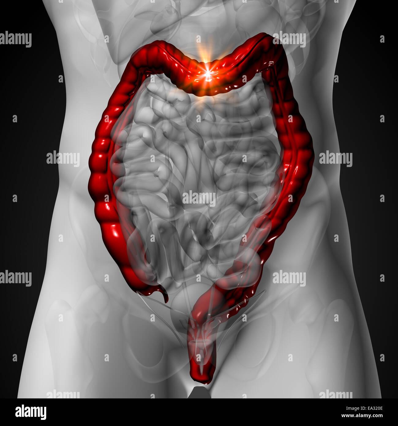 Colon / Dickdarm - männliche Anatomie menschlicher Organe - x-ray ...