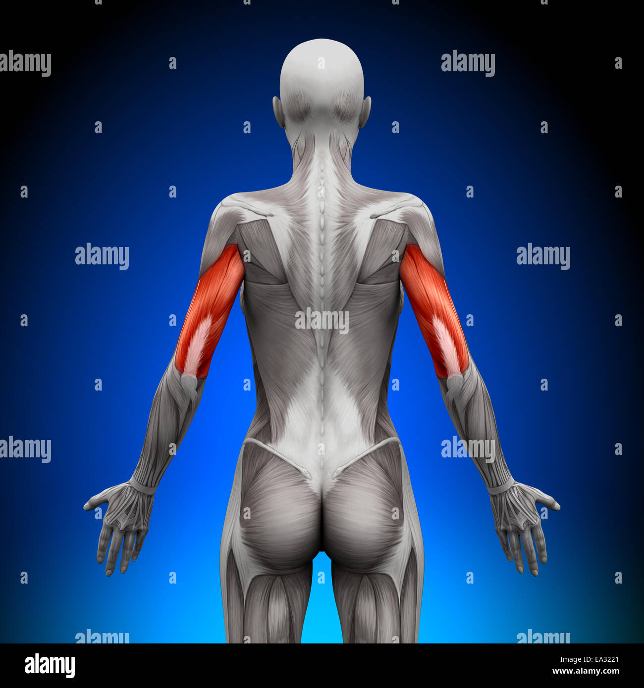 Trizeps - weibliche Anatomie Muskeln Stockfoto