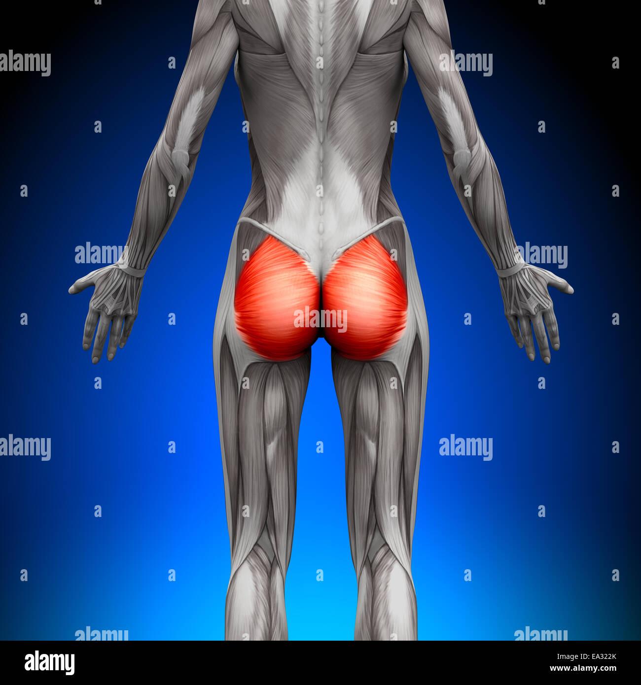 Gesäß / Gluteus Maximus - weibliche Anatomie Muskeln Stockfoto, Bild ...