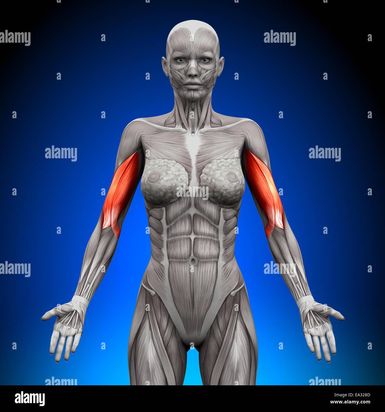 Bizeps - weibliche Anatomie Muskeln Stockfoto, Bild: 75055693 - Alamy