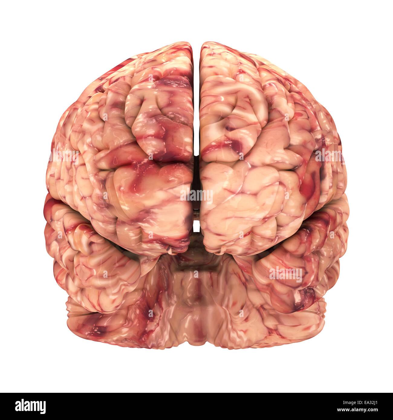 Anatomie Gehirn - Vorderansicht, Isolated on White Stockfoto, Bild ...