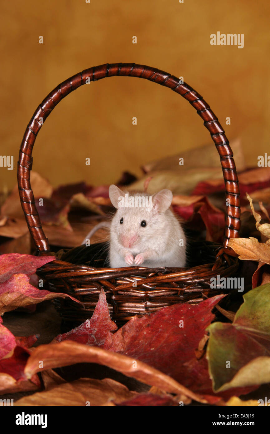 House Mice Mus Musculus Stockfotos & House Mice Mus Musculus Bilder ...