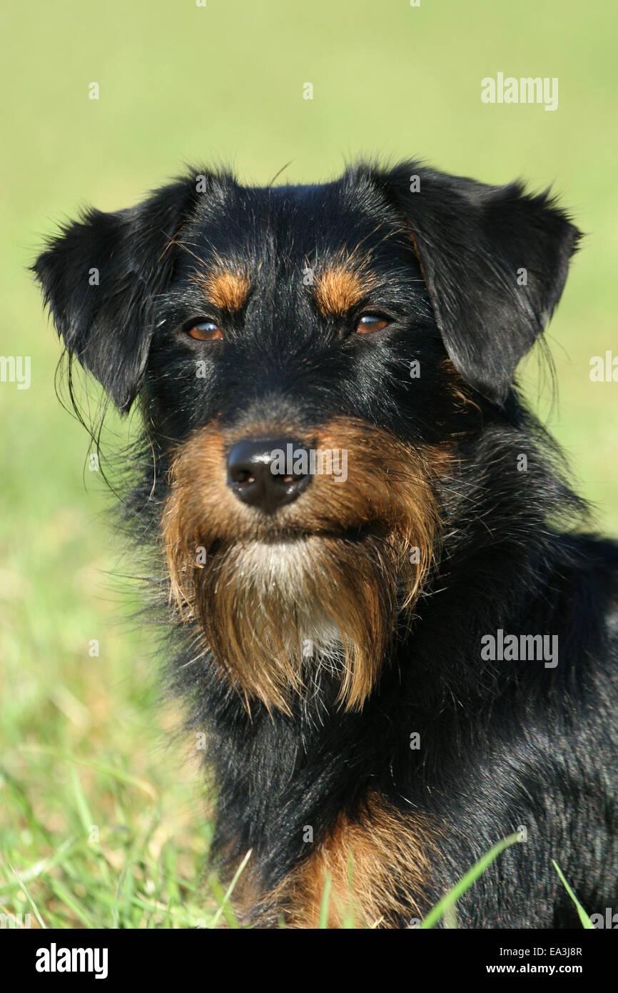 Teckel-Schnauzer-Mischling Stockfoto, Bild: 75068247 - Alamy