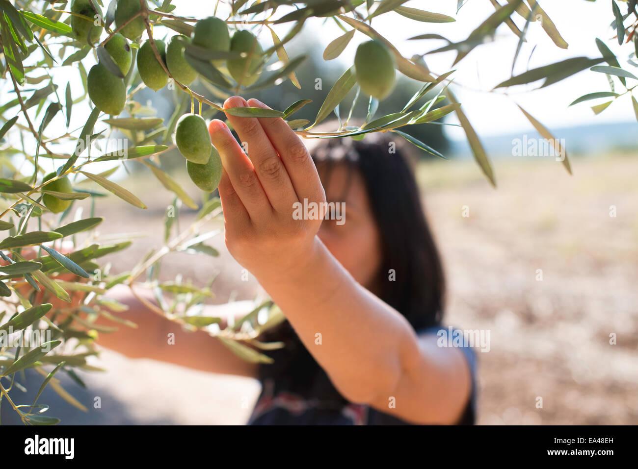 Oliven pflücken. Frau halten Olivenzweig Stockbild