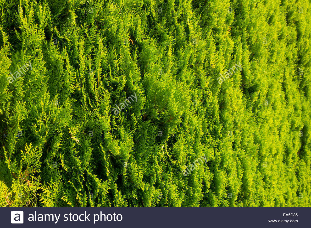 thuja tree stockfotos thuja tree bilder alamy. Black Bedroom Furniture Sets. Home Design Ideas