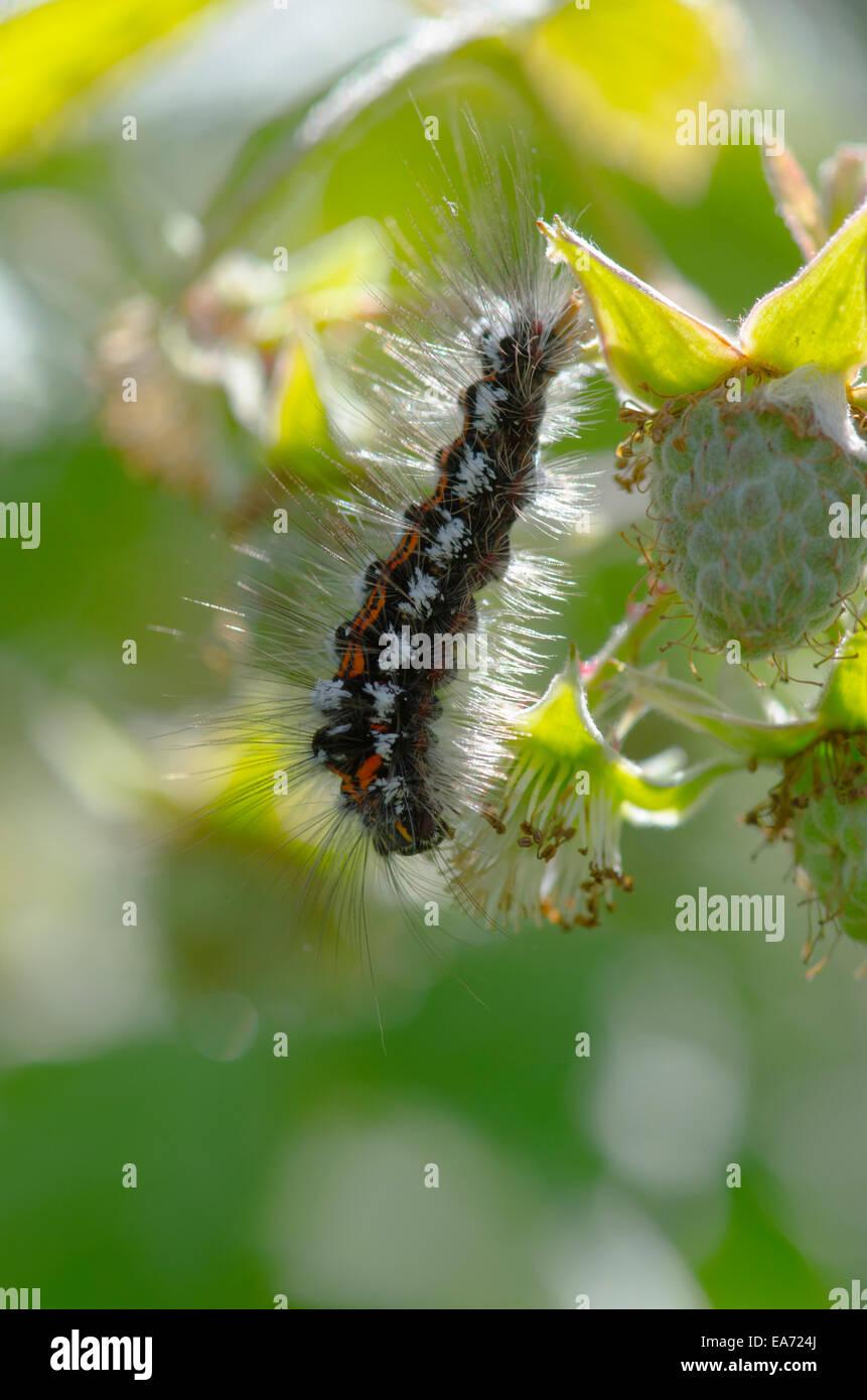 Gelb-Tail [Euproctis Similis] Caterpillar Juni Norfolk Broads, England, UK. Stockbild