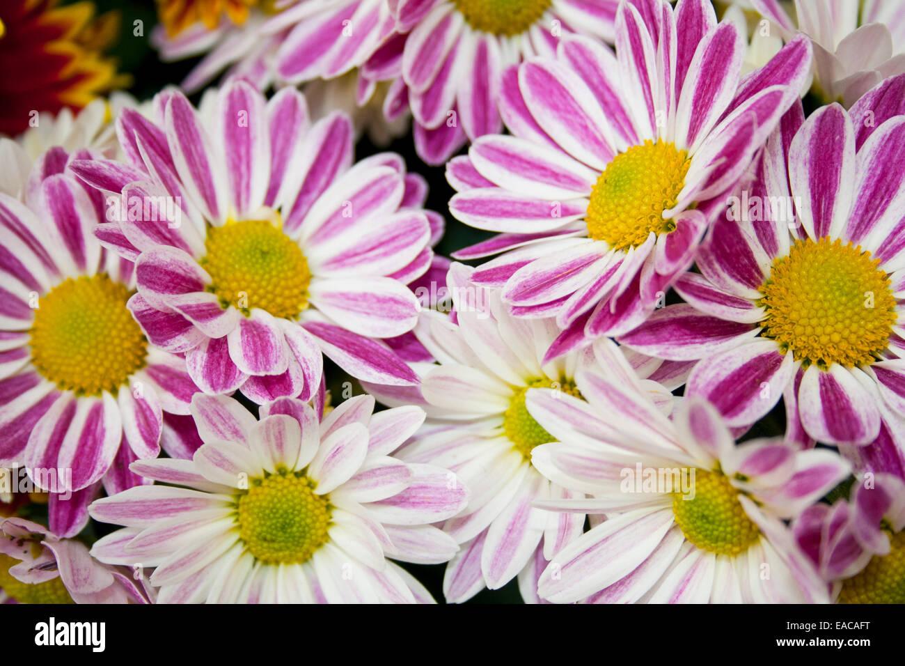 Gänseblümchen-Blüten in rosa und weiß Stockbild