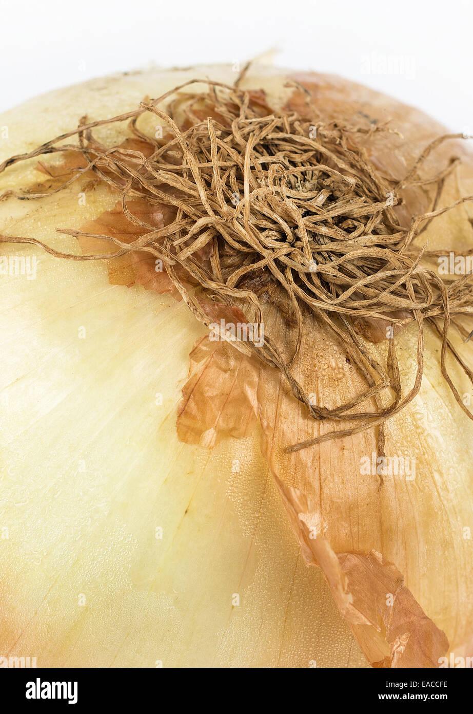 Detail von einem gemeinsamen Kochen Zwiebel Allium Cepa hautnah Stockbild