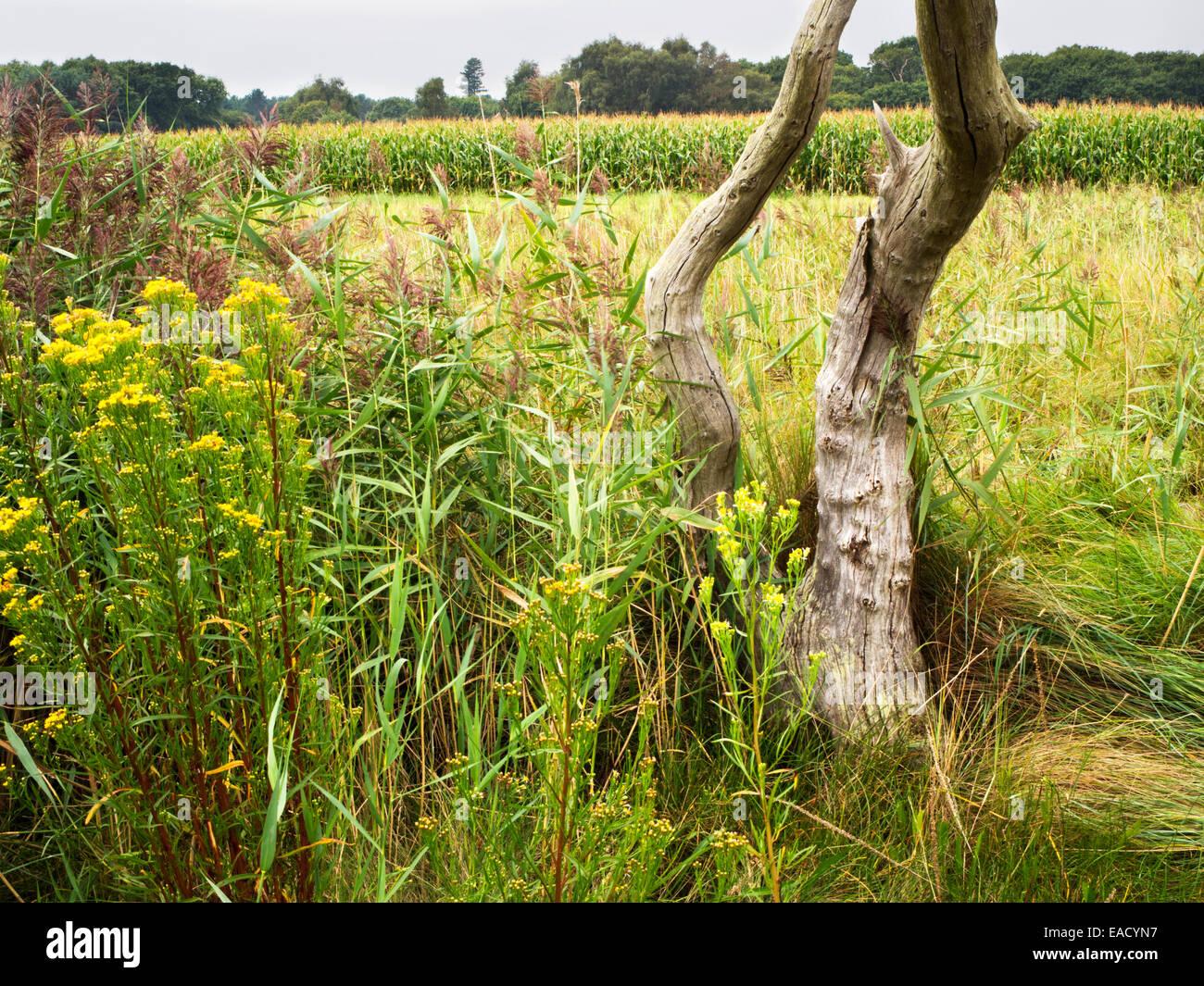Toter Baum und Sumpfgebiet in der Nähe von Snape Suffolk England Stockbild