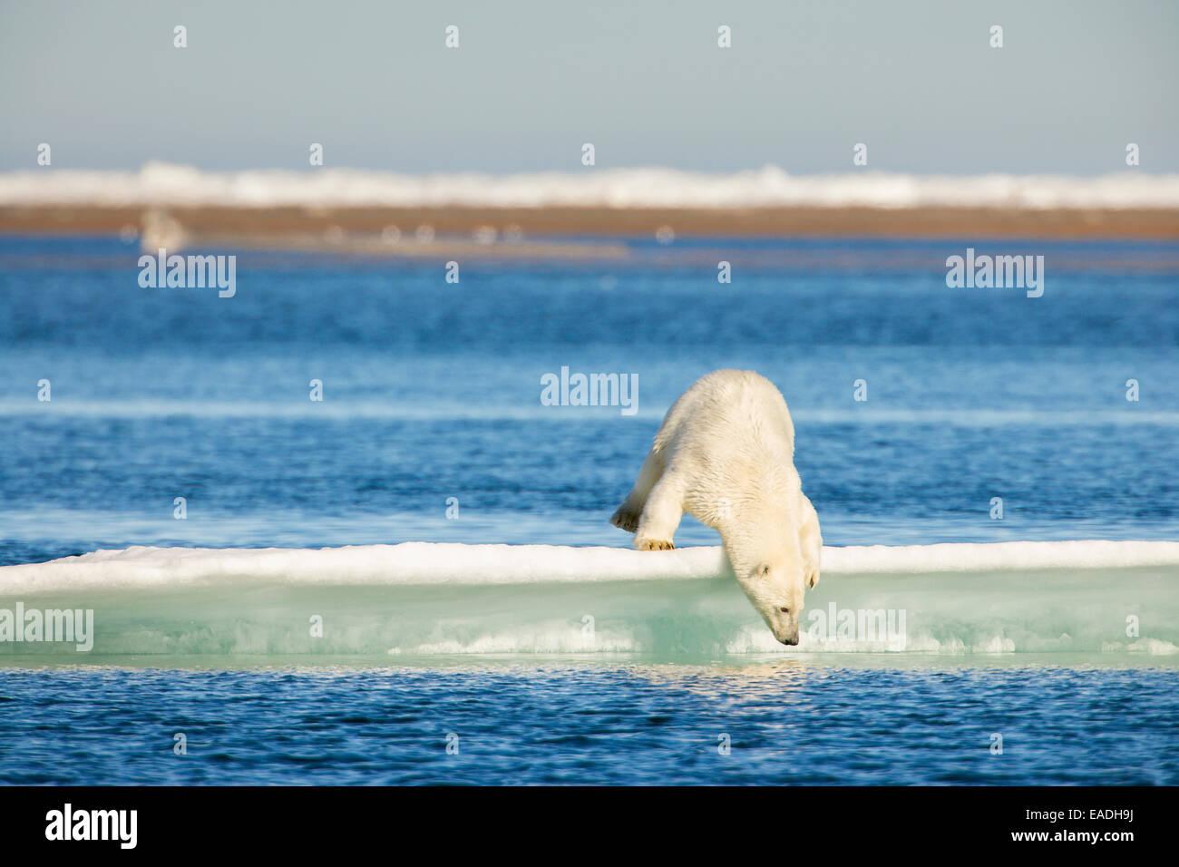 Eisbär auf einem Eisberg in der Beaufortsee, abseits der Küste von Barter Island, Kaktovik, Arktis Alaska Stockbild
