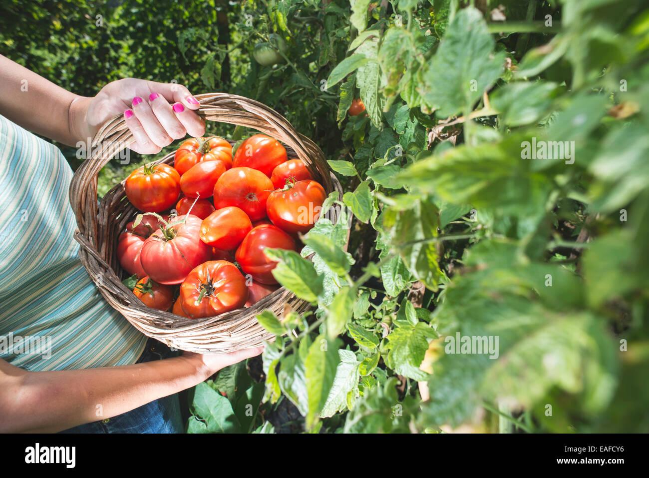 Pflücken Tomaten in Korb. Privater Garten Stockbild