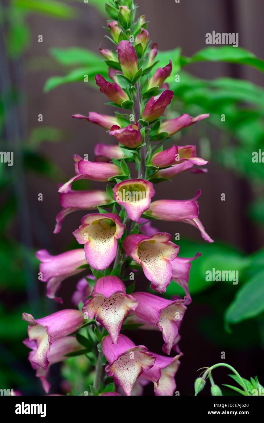 Digitalis Beleuchtung rosa Fingerhut Fingerhut sterile Hybride Hybridisierung Isoplexis mehrjährige Blume Blumen Stockbild