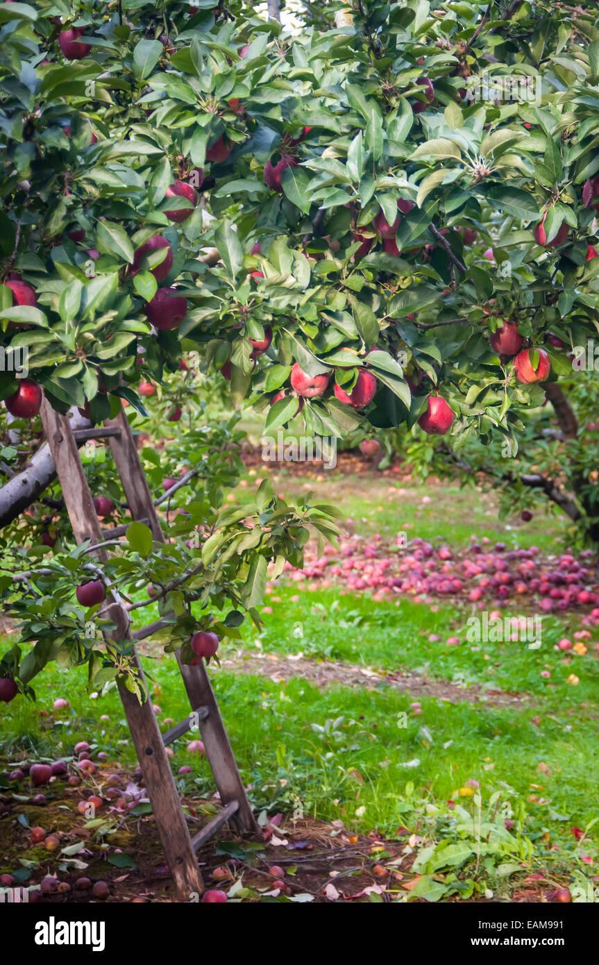 apple harvest ladder stockfotos apple harvest ladder. Black Bedroom Furniture Sets. Home Design Ideas