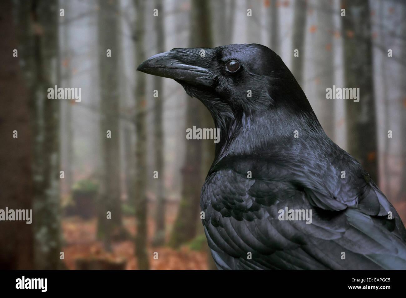 Nahaufnahme eines gemeinsamen Raven / northern raven (Corvus Corax) im herbstlichen Wald Stockbild