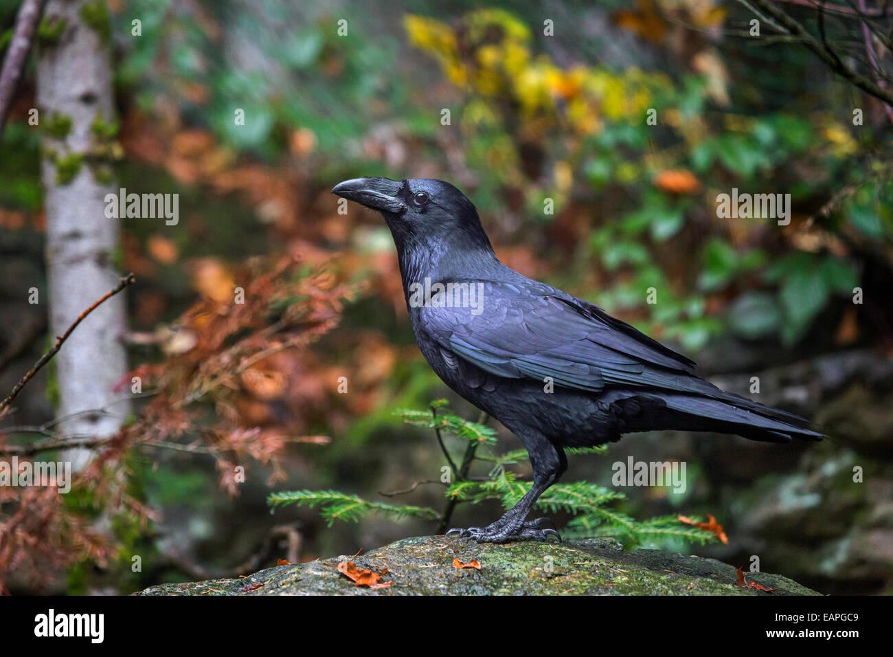Gemeinsamen Raven / northern raven (Corvus Corax) im herbstlichen Wald Stockbild