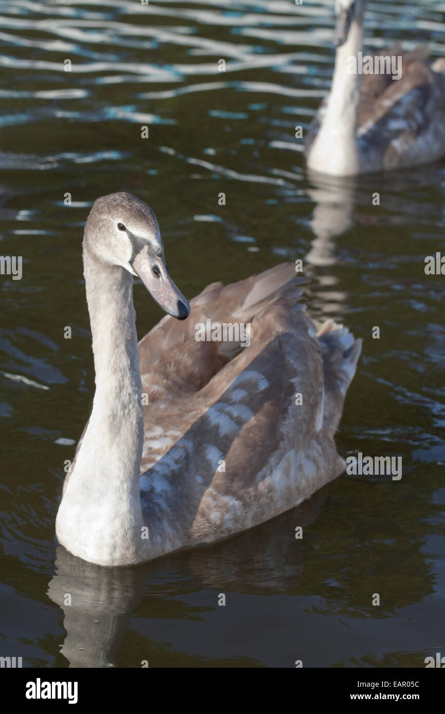 Höckerschwan (Cygnus Olor). Junge, juvenile, unreif, Cygnet des Jahres Vogel Essen Hand-outs aus menschlichen Stockbild
