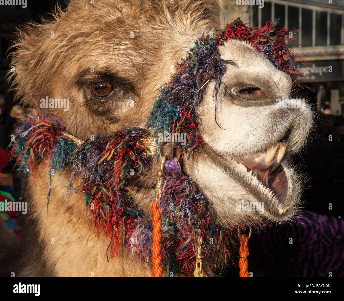 camel christmas stockfotos camel christmas bilder seite 2 alamy. Black Bedroom Furniture Sets. Home Design Ideas