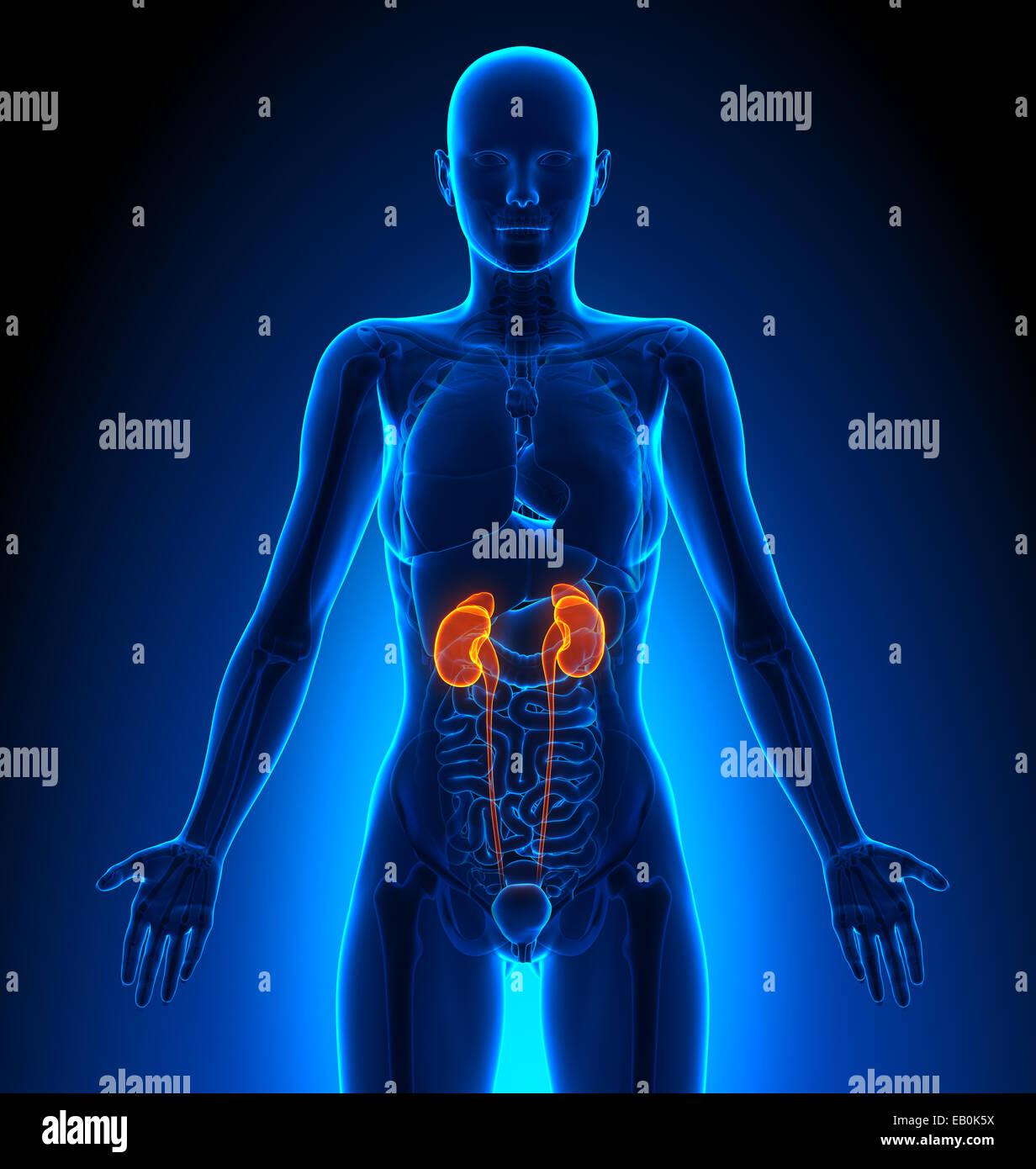 Nieren - weiblichen Organe - Anatomie des Menschen Stockfoto, Bild ...