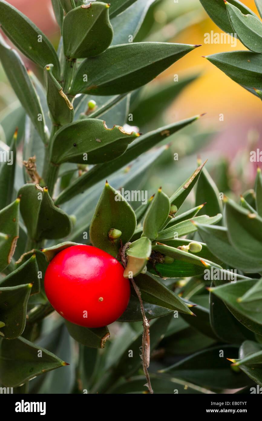 Roten Herbst Beeren und Kladodien von Mäusedorn, Ruscus aculeatus Stockbild