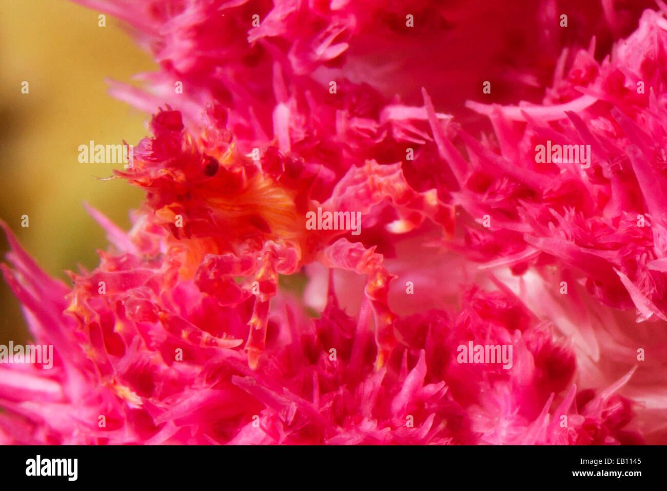 Weiche Korallen Krabbe versteckt in Lembeh Straße Weichkorallen (Hoplophrys Oatesii), Indonesien Stockbild