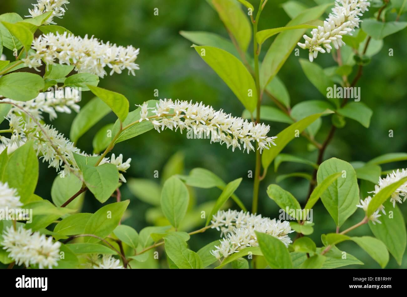 Itea. Plant Of The Year Itea Virginica With Itea. Itea With Itea ...