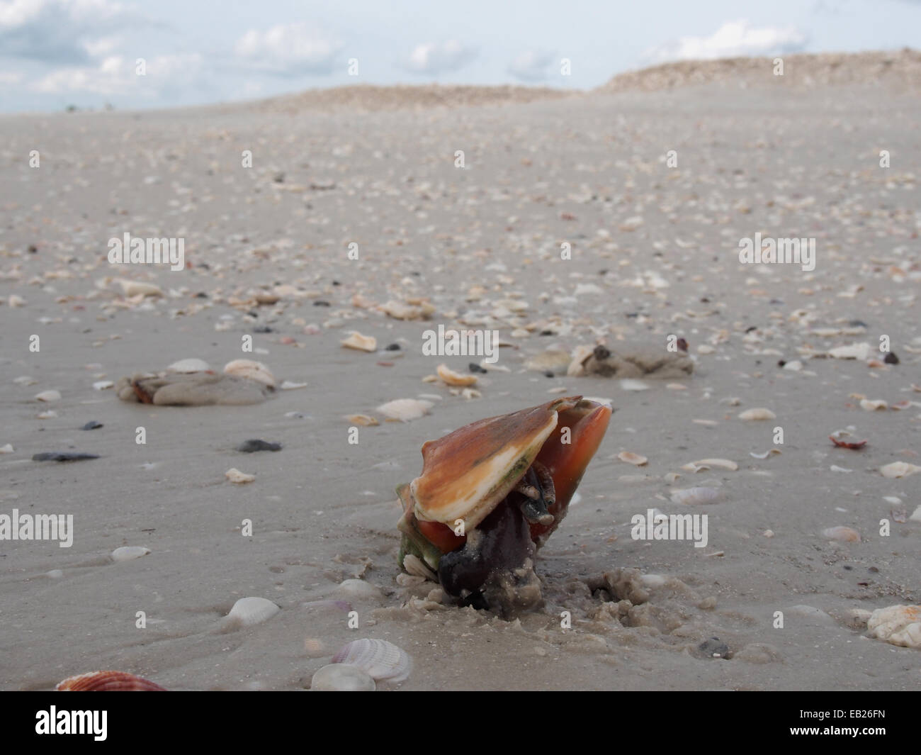Ein live kämpfen Muschel kriecht entlang des Strandes im Lovers Key State Park, ft. Myers, Florida, USA, 6. Oktober Stockfoto