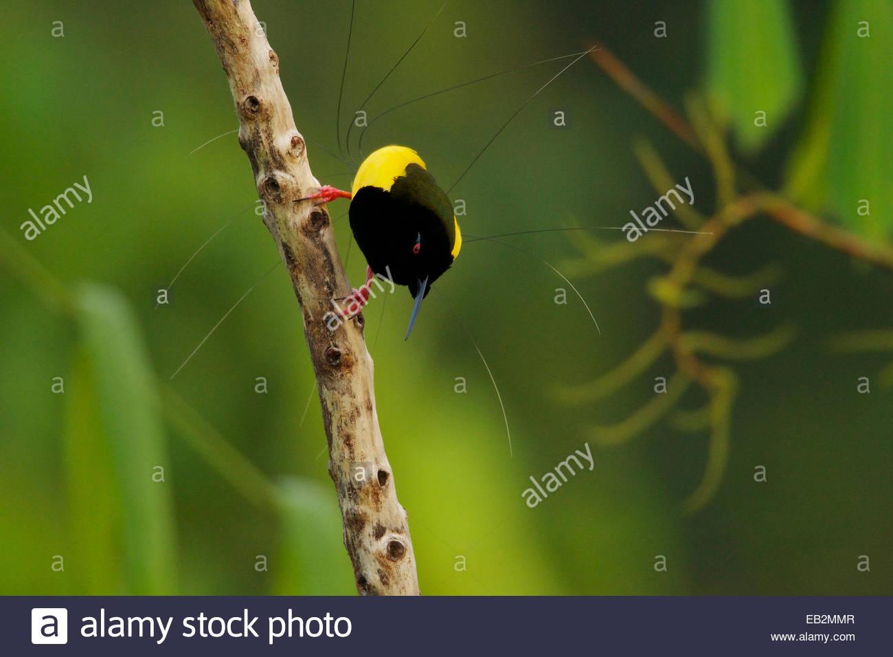 Eine männliche verdrahtet zwölf Paradiesvogel auf seine Anzeige Pole. Stockbild