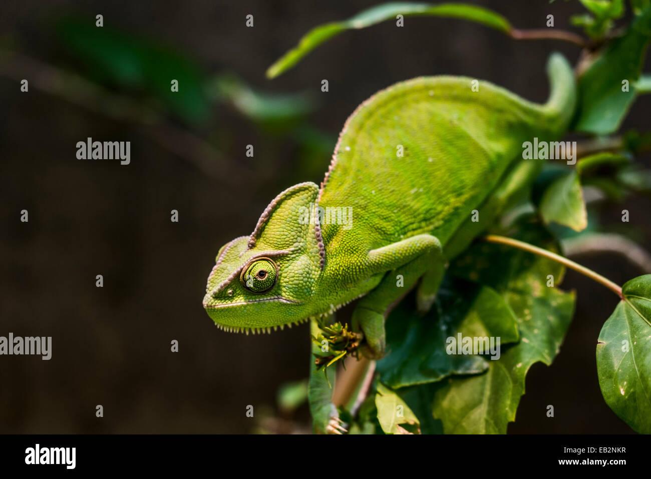 Jemen Chamäleon oder verschleiert Chamäleon (Chamaeleo Calyptratus), Wilhelma Zoo und Botanischer Garten, Stockbild