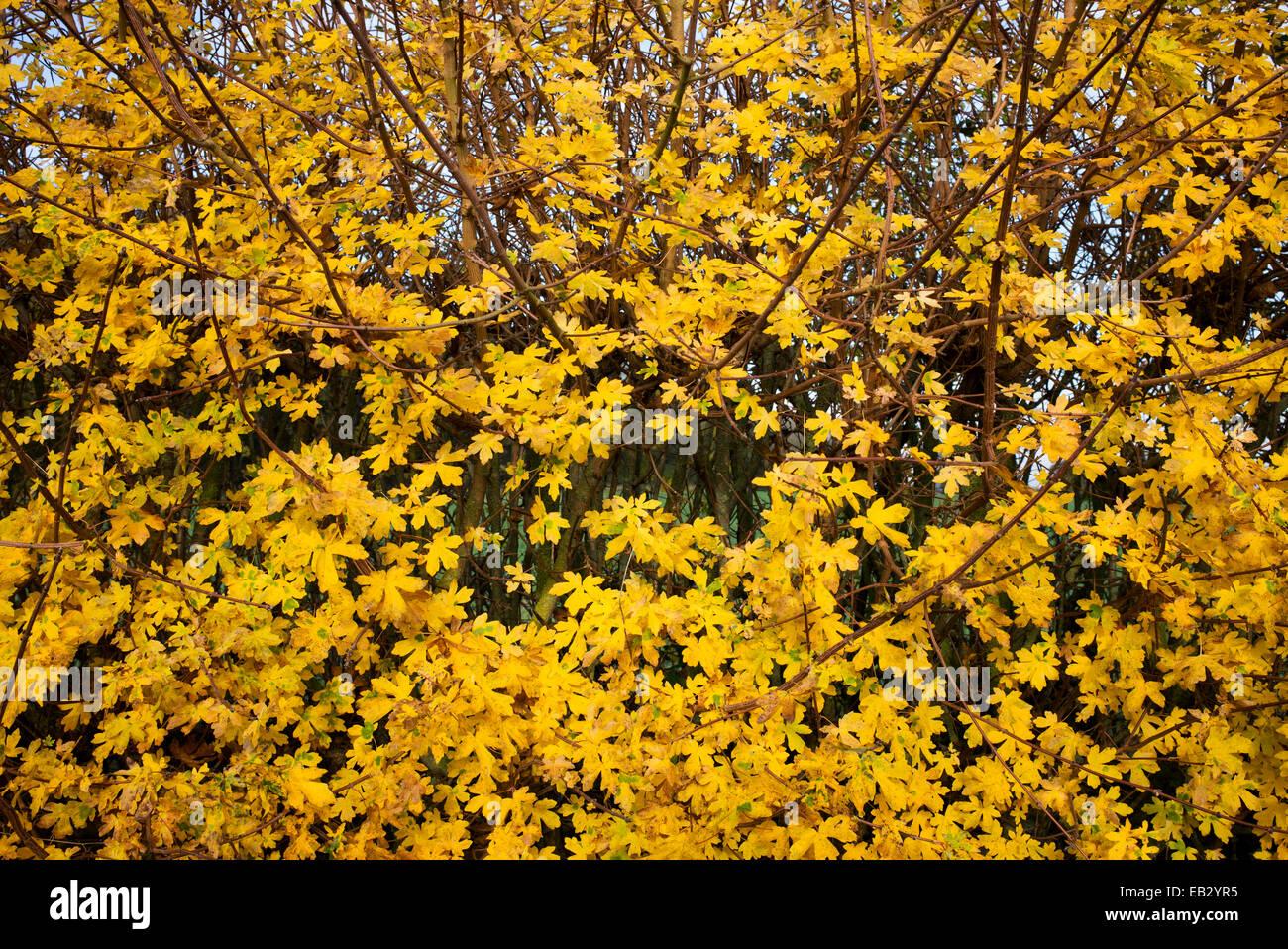 Acer Campestre Feld Ahorn Hecke im Herbst UK Stockfoto Bild
