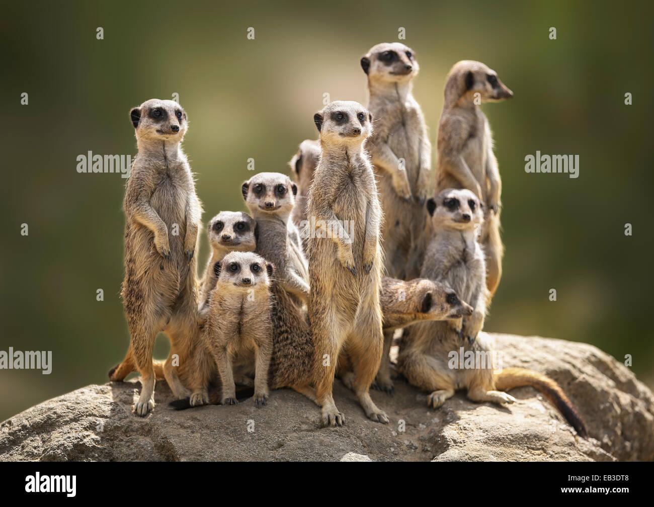 Erdmännchen Familie auf Suche Stockbild