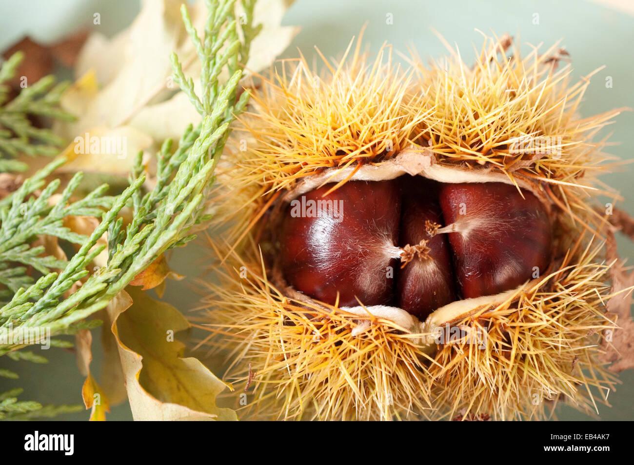 Chesnuts Samen in der Frucht Gehäuse. Stockbild