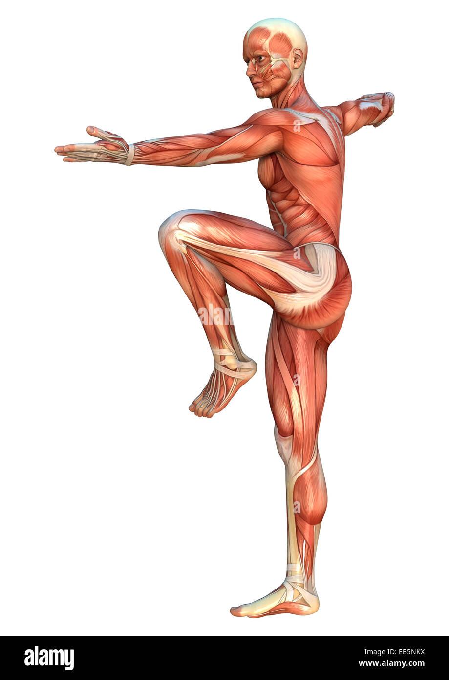 Tolle Muskelsysteminformationen Ideen - Menschliche Anatomie Bilder ...