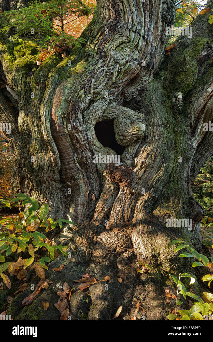 ancient yew tree taxus baccata stockfotos ancient yew tree taxus baccata bilder alamy. Black Bedroom Furniture Sets. Home Design Ideas