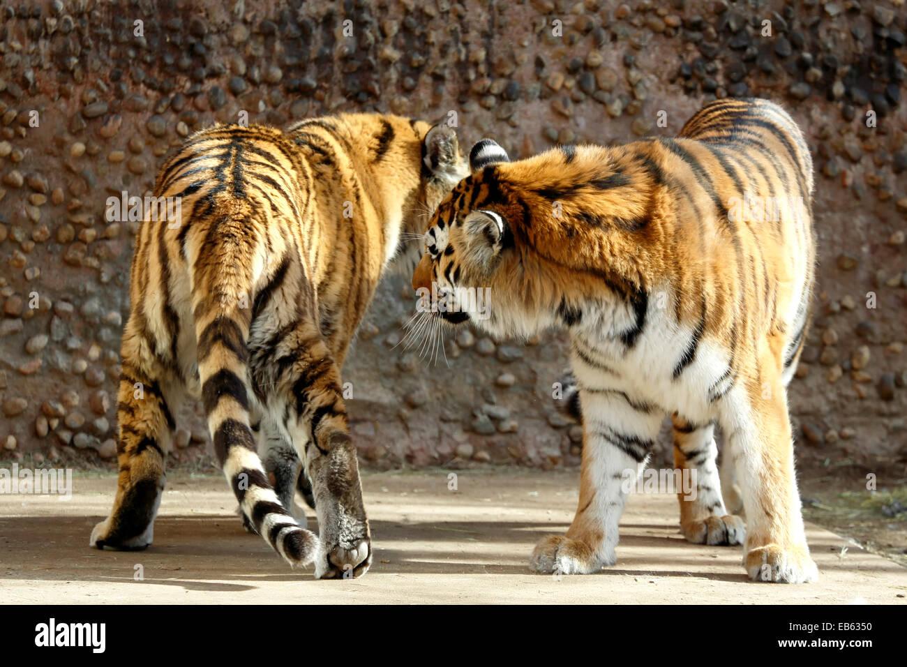 Gefangenschaft Tiger (Panthera Tigris), Zoo Denver, Denver, Colorado USA Stockbild