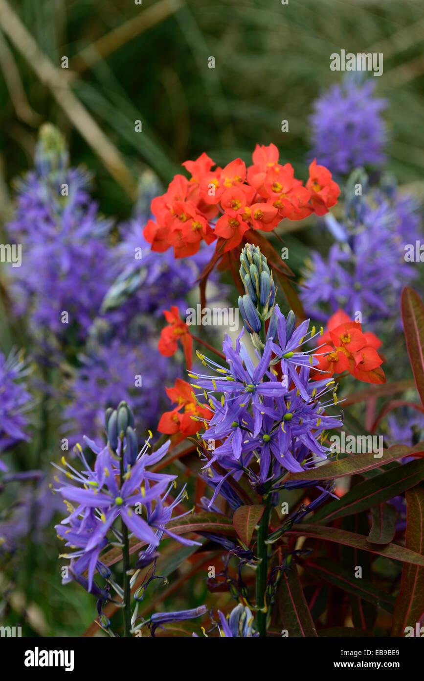 euphorbia griffithii fireglow camassia leichtlinii caerulea orange