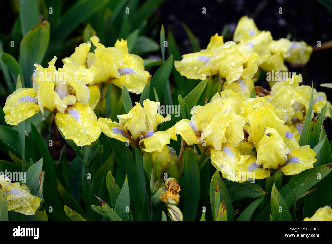 iris barbata nana dwarf iris stockfotos iris barbata. Black Bedroom Furniture Sets. Home Design Ideas