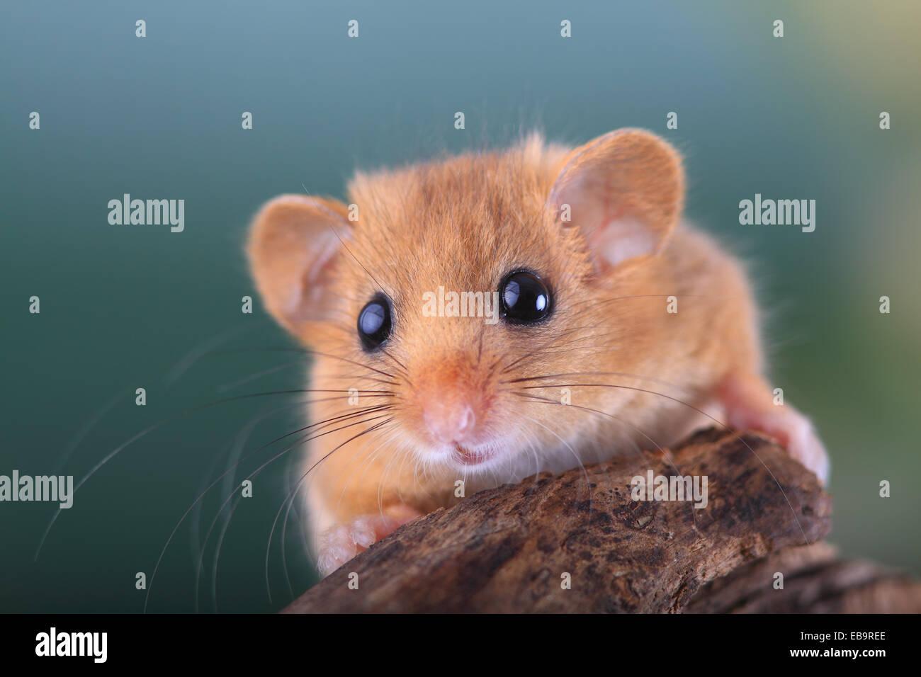 Hazel Dormouse, Haselmaus (Muscardinus Avellanarius), Porträt, Oberbiel, Solms, Hessen, Deutschland Stockfoto