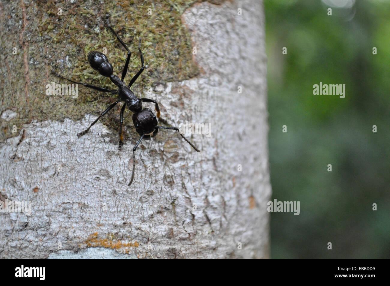 Hormiga Bala - Bullet Ant - Paraponeragroße clavata Stockfoto