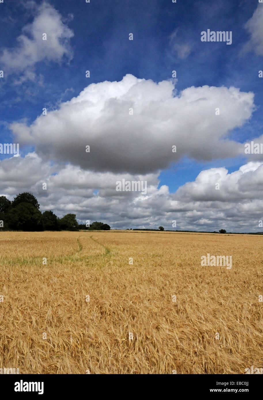 Cotswold Land Kornfeld im Hochsommer Stockbild