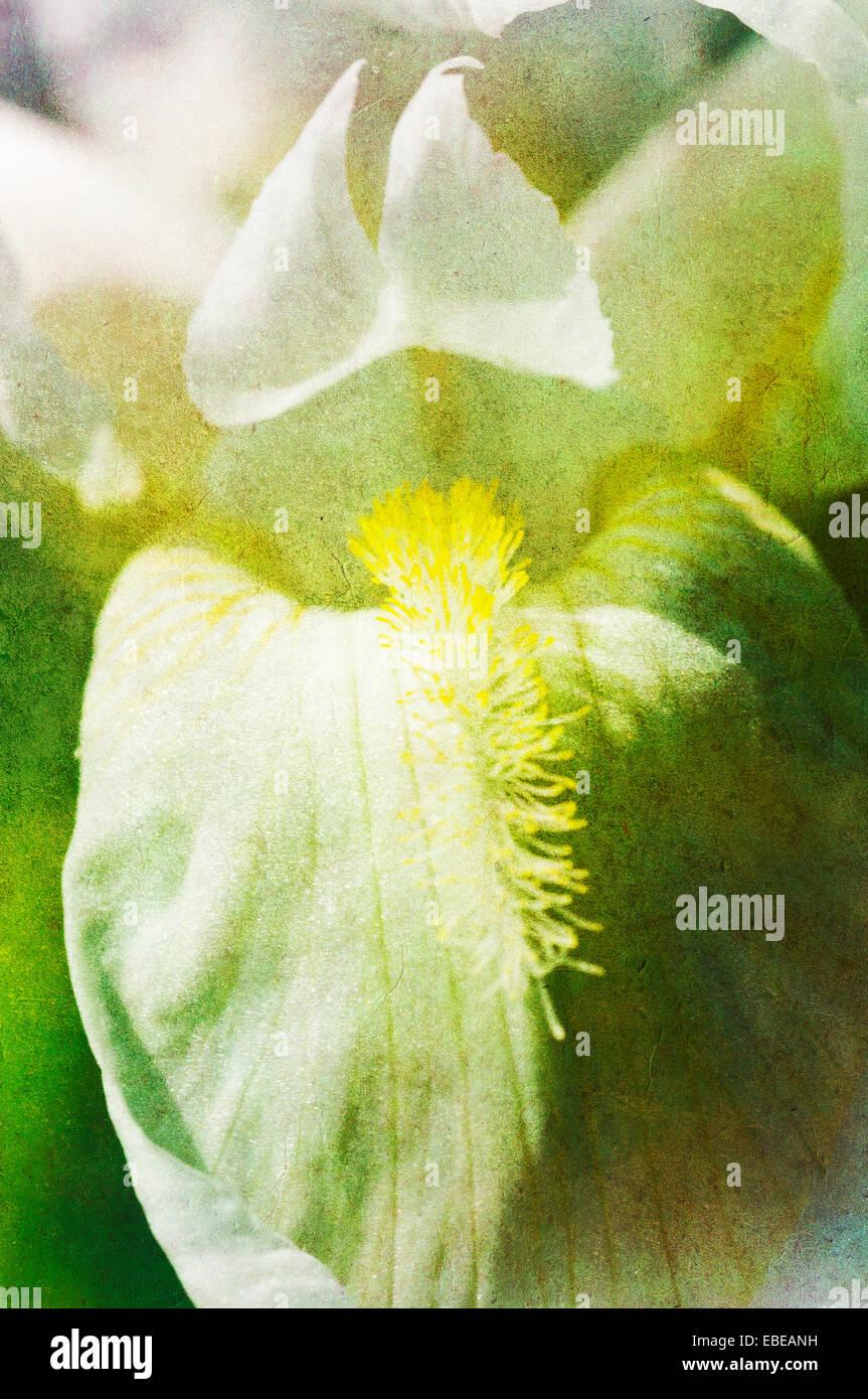 Texturierte schließen sich eine weiße Iris (Iris Germanica) Stockbild