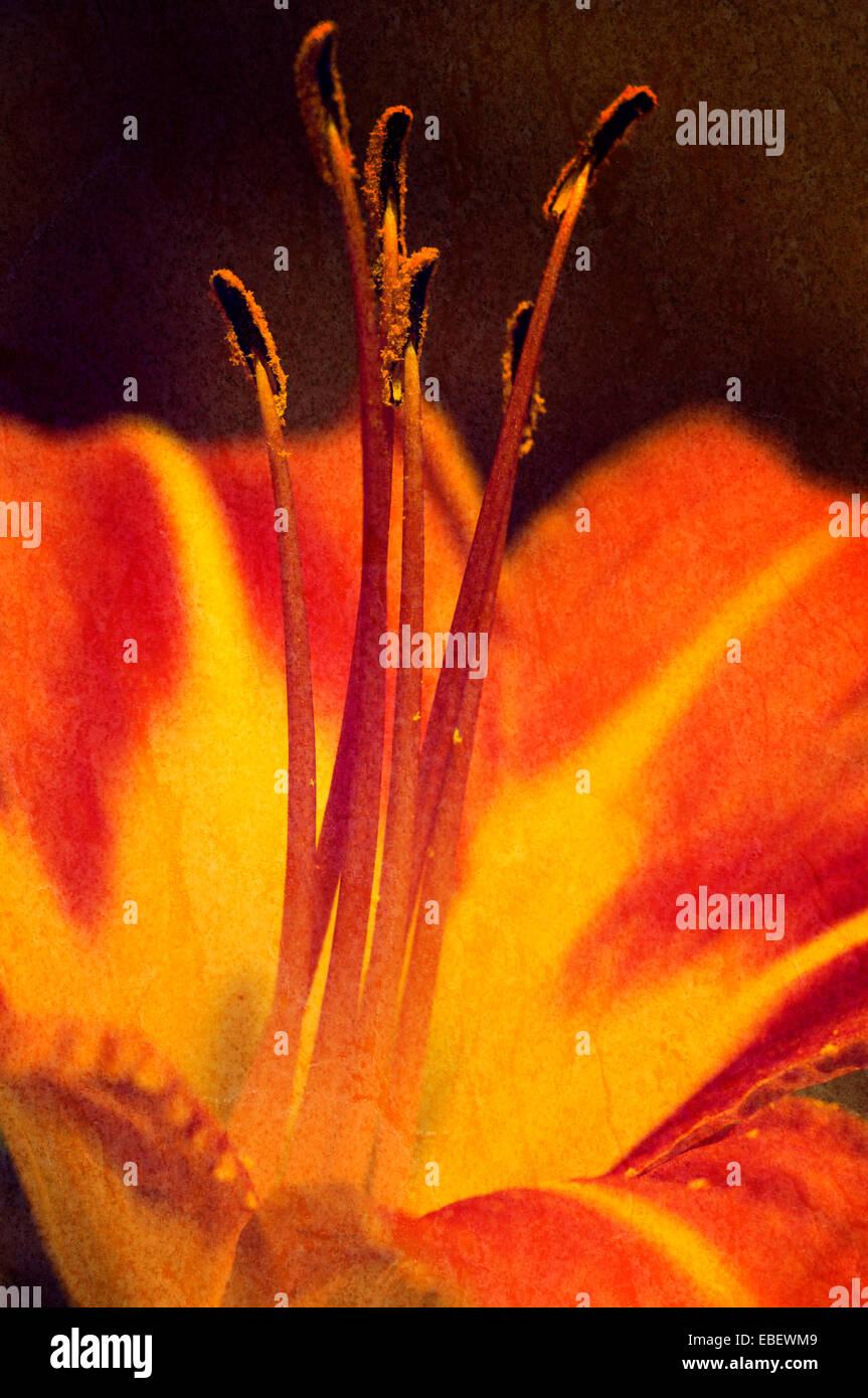 Texturierte schließen sich von einem Graben Taglilie (Hemerocallis Fulva) Stockbild