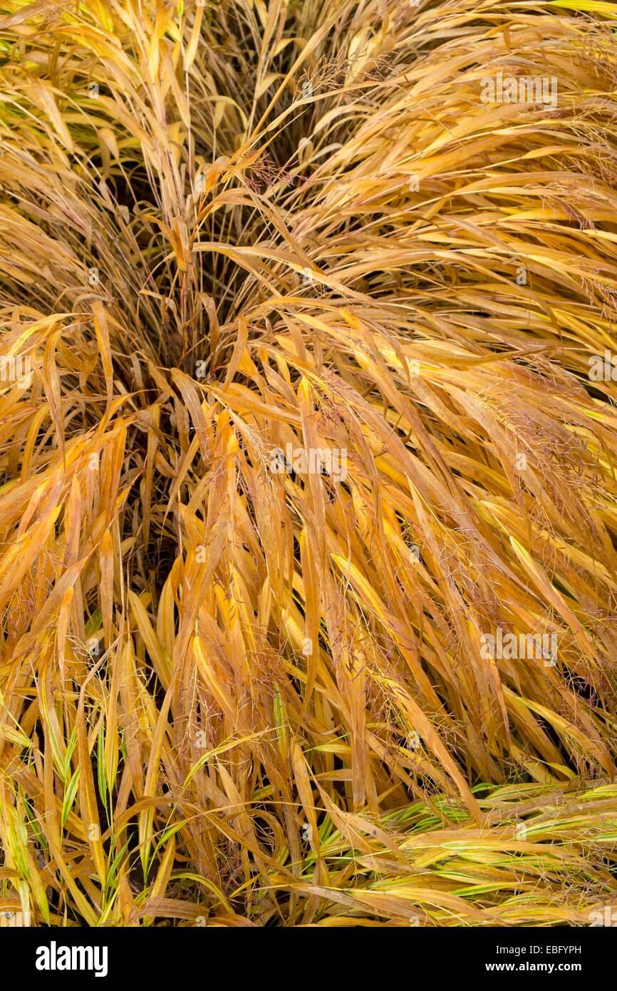 Ornamental Grass Hakonechloa Macra 'Aureola', Laub schalten goldenen im frühen Winter. Stockbild